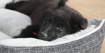 belgian-shepherd-dog-435944_640
